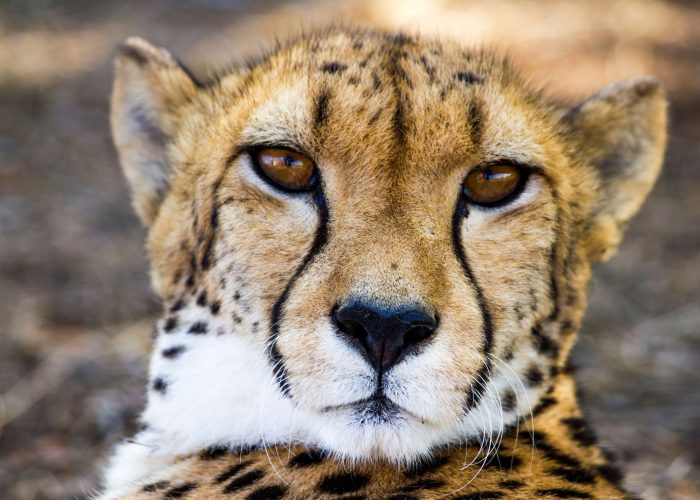 africa-animal-cheetah-88234